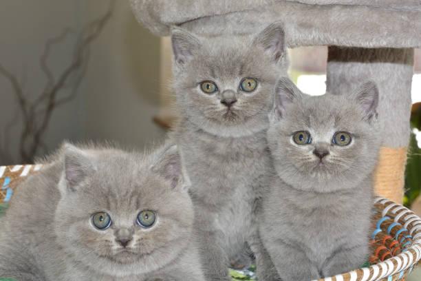 drei süße british blau kätzchen sitzen in einem korb. schauen sie sich die kamera. - kurze haare flechten stock-fotos und bilder