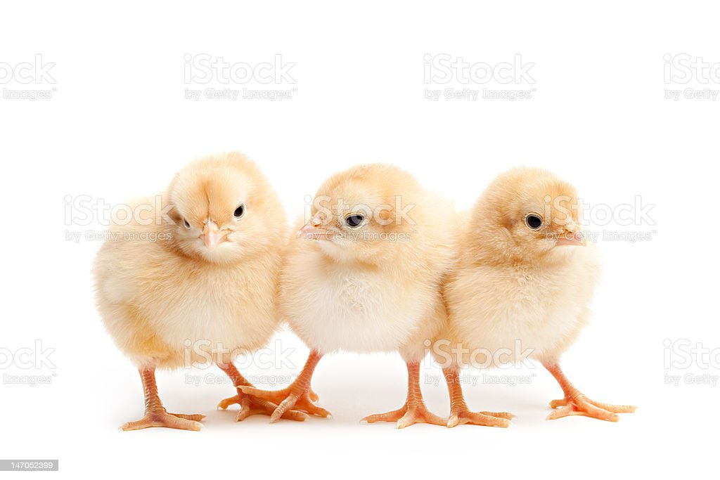 three cute chicks isolated on white stock photo