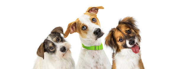 Three Cute Dogs Tilting Heads Looking Forward Close-up three cute dogs tilting heads to listen with attention while looking forward at camera. Horizontal web banner with room for text. mixed breed dog stock pictures, royalty-free photos & images
