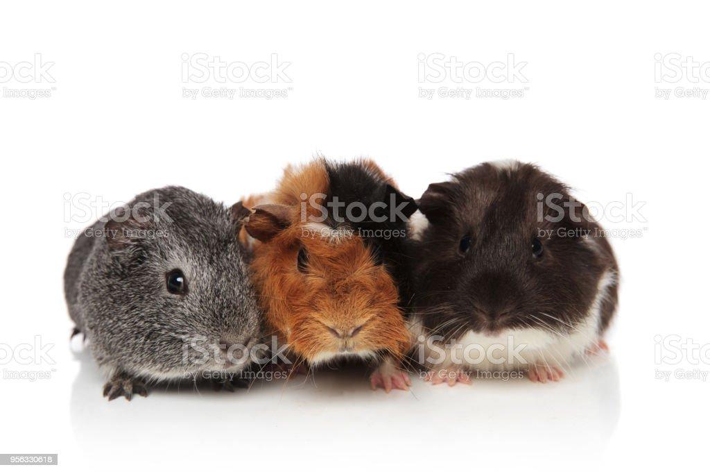 three cute furry guinea pigs lying stock photo