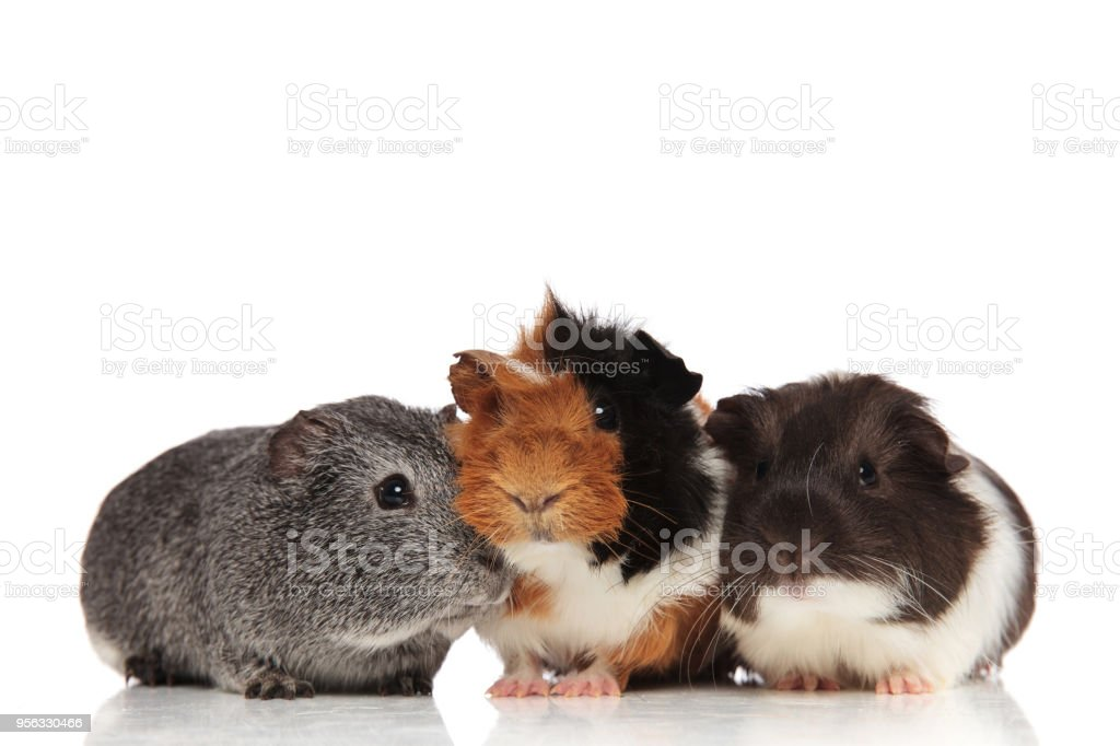 three cute guinea pigs looking in different sides stock photo