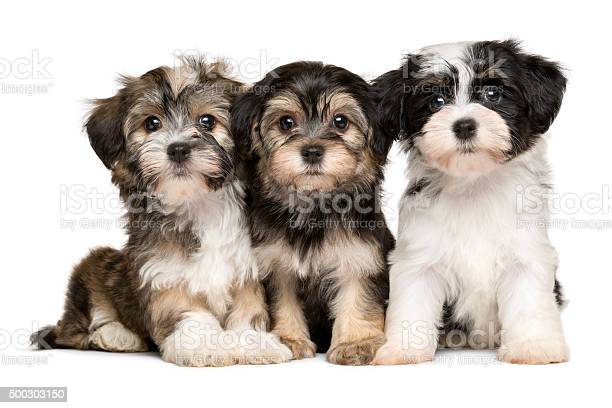 Three cute havanese puppies are sitting next to each other picture id500303150?b=1&k=6&m=500303150&s=612x612&h=kvoxdtwr0m3vqysow4al9gdhmr4wldy86k v7qgxraw=