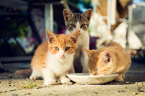 Three cute kittens drinking milk from a dirty plate outside.