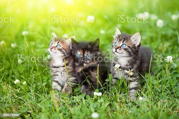 Three cute kittens in the meadow picture id498578905?b=1&k=6&m=498578905&s=612x612&h=xohzbytojvydasukmqefsblhvepsulclnb8rzx ytsm=