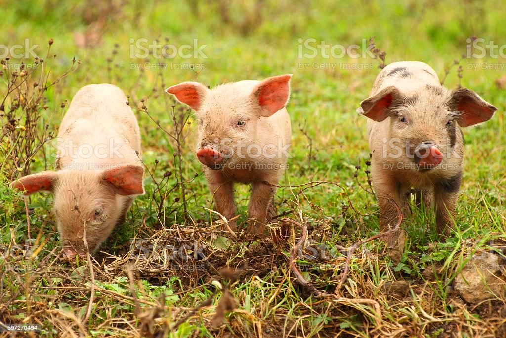 Three cute little piglets royalty-free stock photo