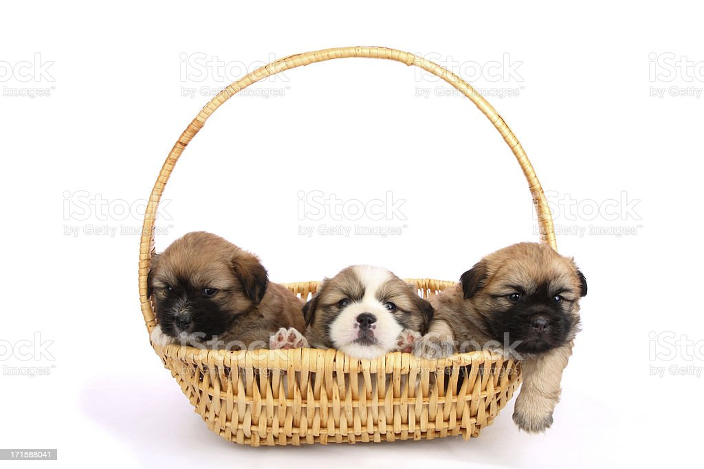 Three cute puppies in a basket royalty-free stock photo