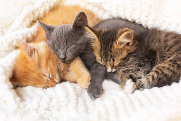 Three Cute tabby kittens sleeping and hugging on white knitted scarf. stock photo