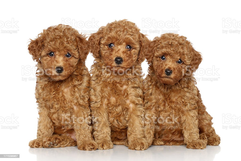 Three Cute Toy Poodle Puppies On A White Background Stock Photo Download Image Now Istock