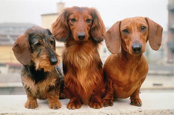 three dachshund dogs: wire, long and short haired, portrait - tax bildbanksfoton och bilder