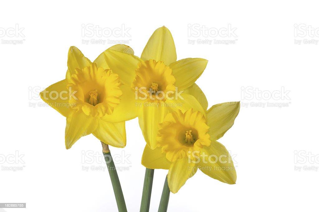Three Daffodils royalty-free stock photo