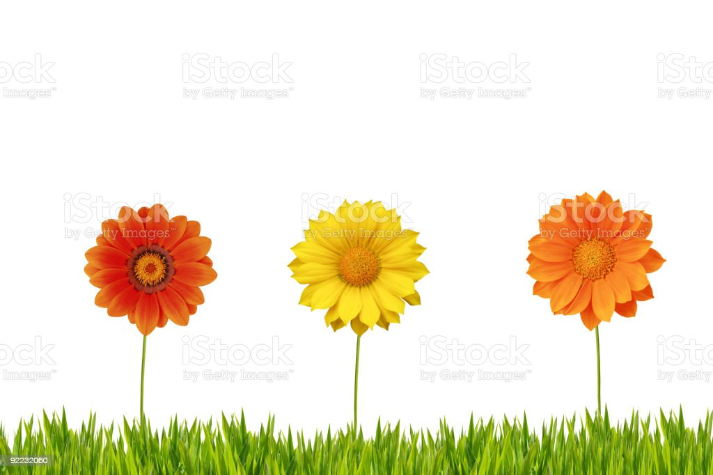 Three daisies on grass isolated royalty-free stock photo