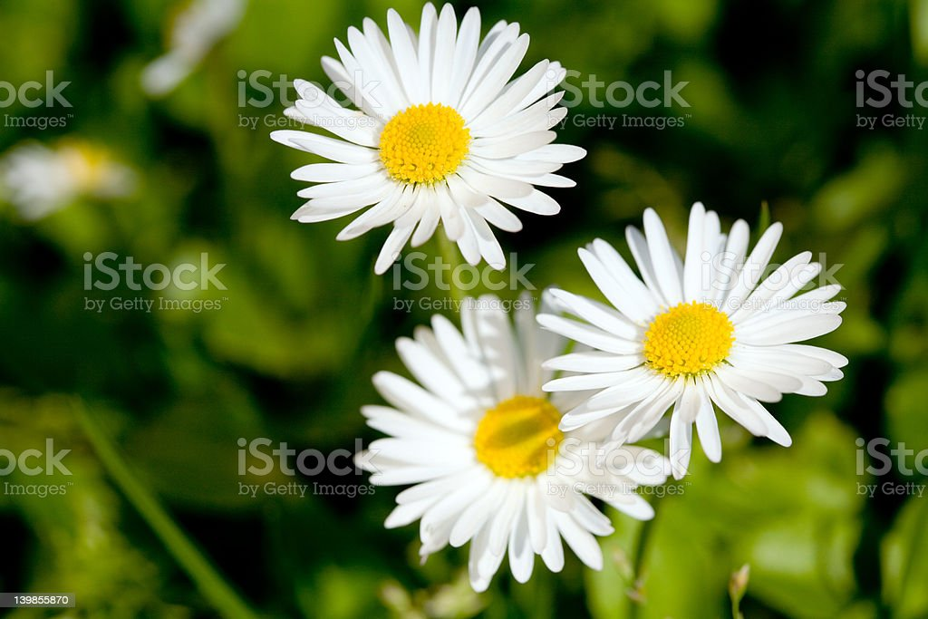 Three daisies royalty-free stock photo