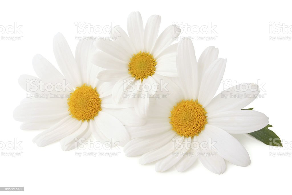 Three Daisys isolated stock photo