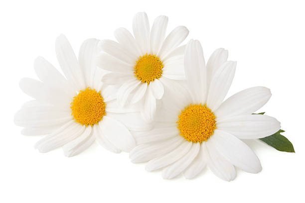 Three Daisys isolated stock photo