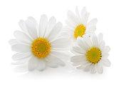 Daisys isolated on white background. Back light shot.