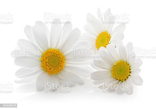 Three daisys isolated picture id184338378?b=1&k=6&m=184338378&s=612x612&h=2sffwusx15d1kxfcm  q2iqdlevg8vcvz1 lefwk8iu=