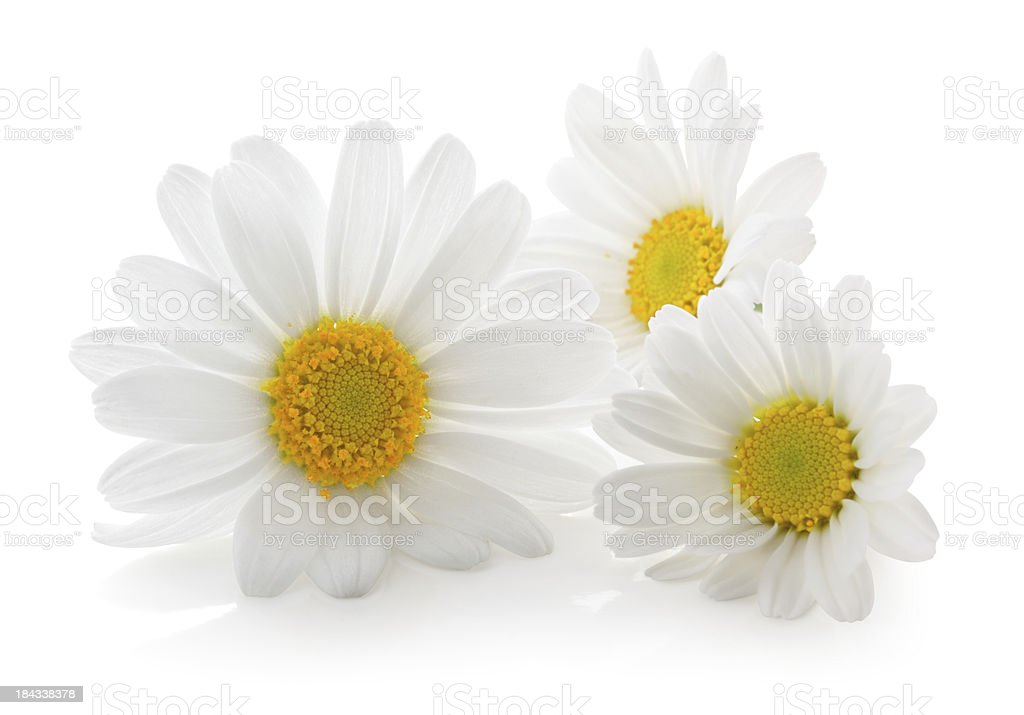 Three Daisys isolated. stock photo