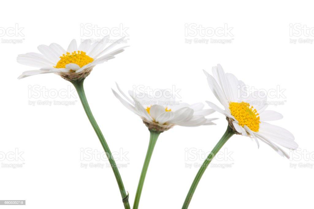 Three Daisys isolated. stock photo