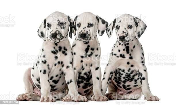 Three dalmatian puppies sitting in front of a white background picture id509042764?b=1&k=6&m=509042764&s=612x612&h=3hbutzooprwpoedm7st2qsb6ltyemet0g6hadjcr9ig=