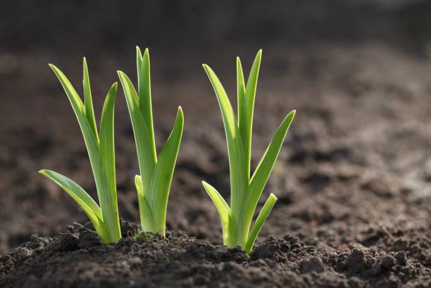 Three Daylily sprouts, horizontal stock photo