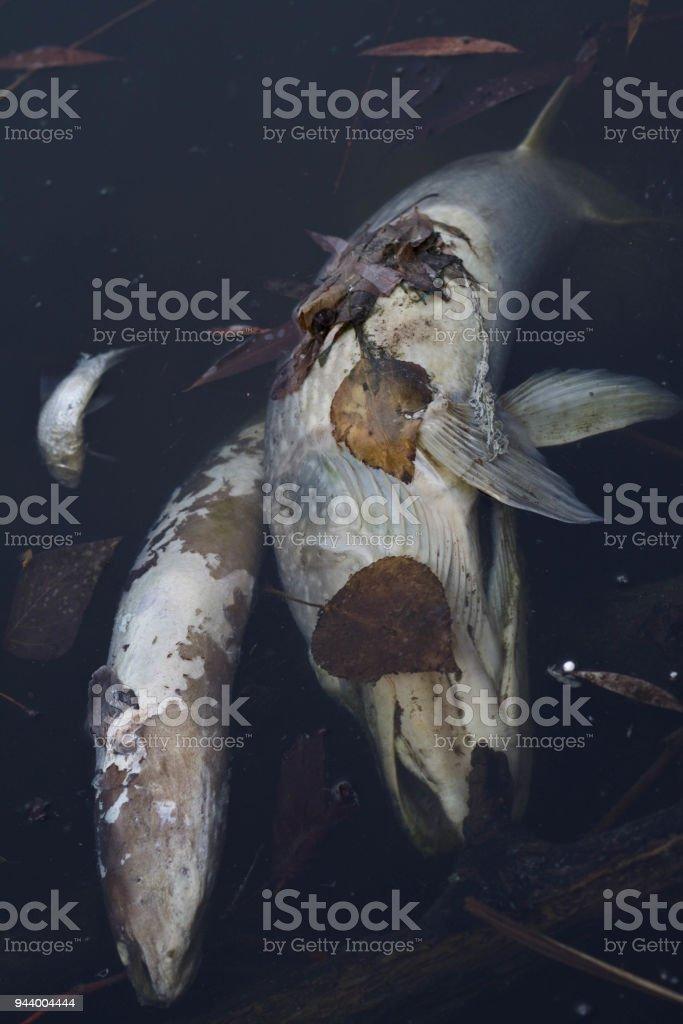 Drei tote Fische in einem See – Foto