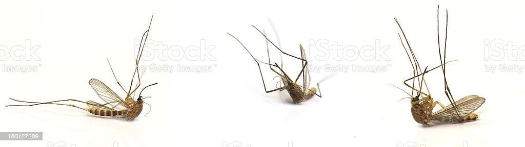 Three dead mosquito royalty-free stock photo