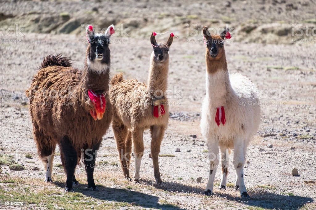 Three decorated llamas royalty-free stock photo