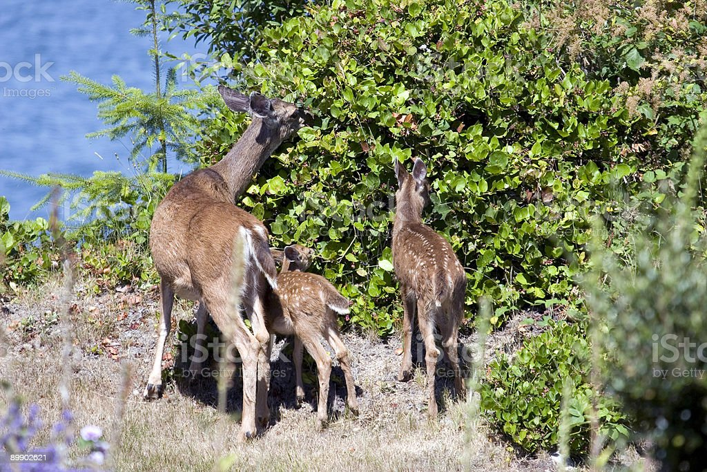 Three Deer at the Blackberry Bush royalty-free stock photo