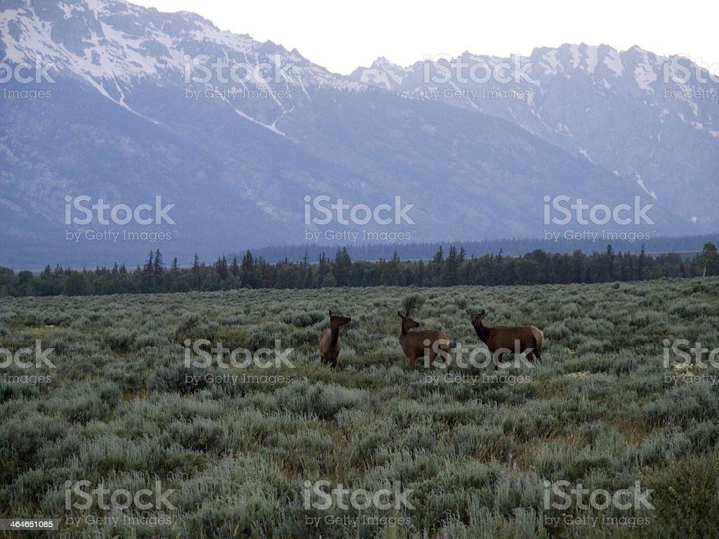 'Three Deer With Grand Teton Mountain Range Background' royalty-free stock photo