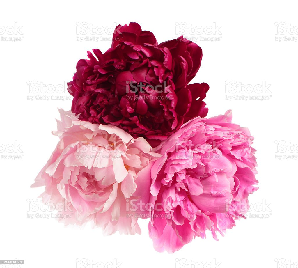 Three different color peonies stock photo