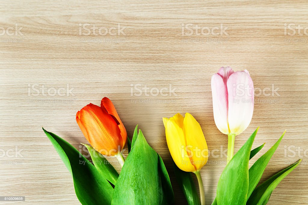 Three different colored tulips stock photo