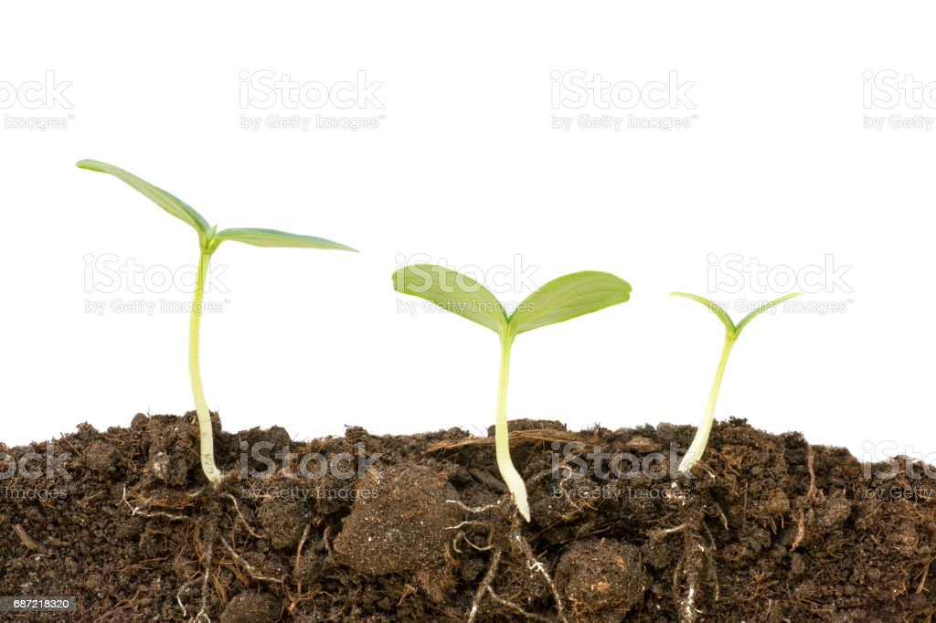 Three different growing cucumber plants close up. Roots and soil cutaway visible. Flat lay isolated on white stock photo