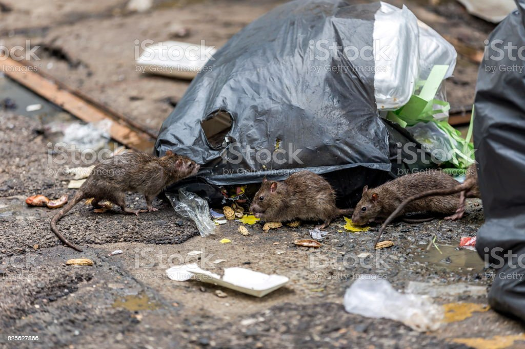 Three dirty mice eat debris next to each other. Rubbish bag On the wet floor and very foul smell. Selective focus. stock photo