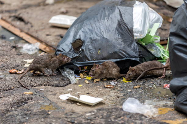 Three dirty mice eat debris next to each other. Rubbish bag On the wet floor and very foul smell. Selective focus. Three dirty mice eat debris next to each other. Rubbish bag On the wet floor and very foul smell. Selective focus. rodent stock pictures, royalty-free photos & images
