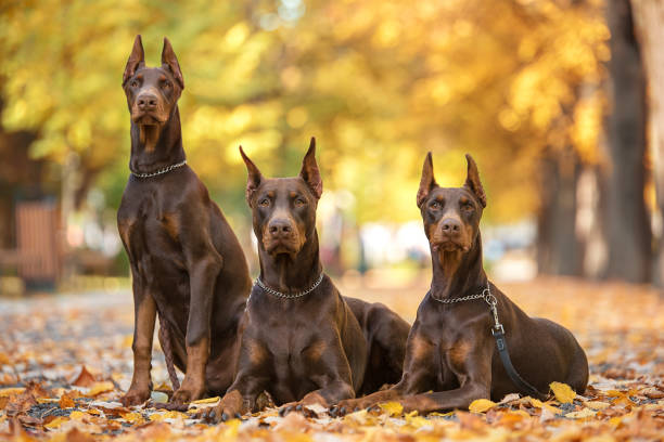9,973 Doberman Pinscher Stock Photos, Pictures & Royalty-Free Images - iStock