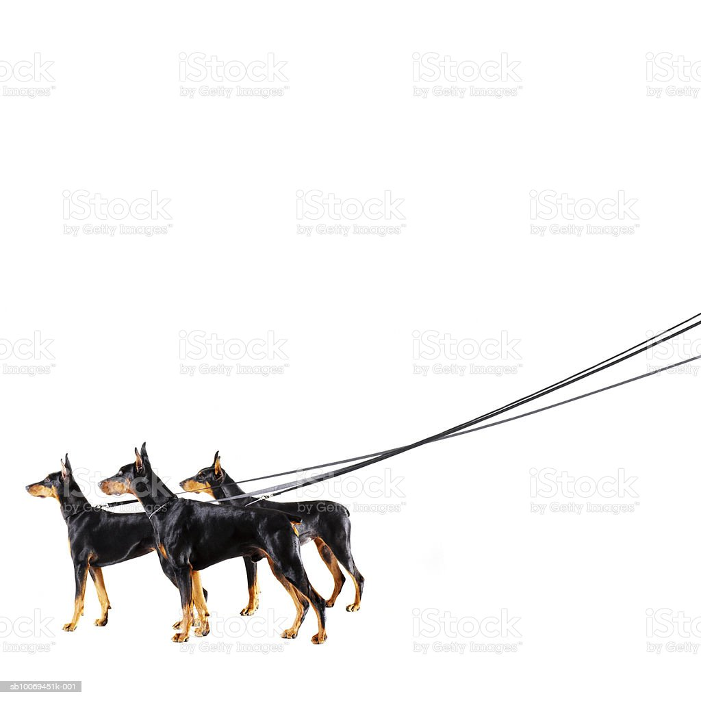 Three Dobermans on leash royalty-free stock photo