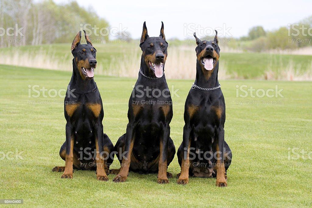Drei dobermans Lizenzfreies stock-foto