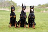 3 dobermans