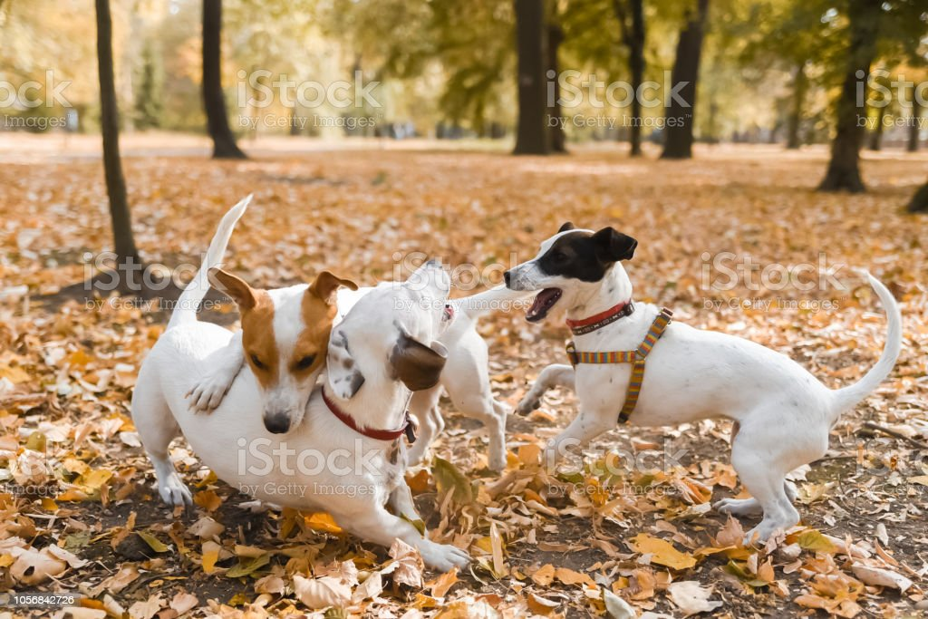 Three Jack Russell\'s breed dogs are playing in a park on autumn.