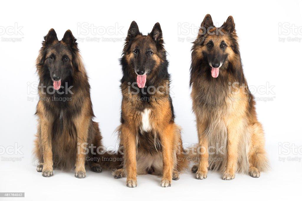 Three dogs, Belgian Shepherd Tervuren, isolated on white studio background stock photo