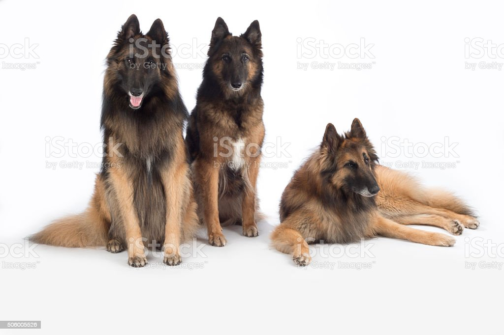 Three dogs, Belgian Shepherd Tervuren, isolated stock photo