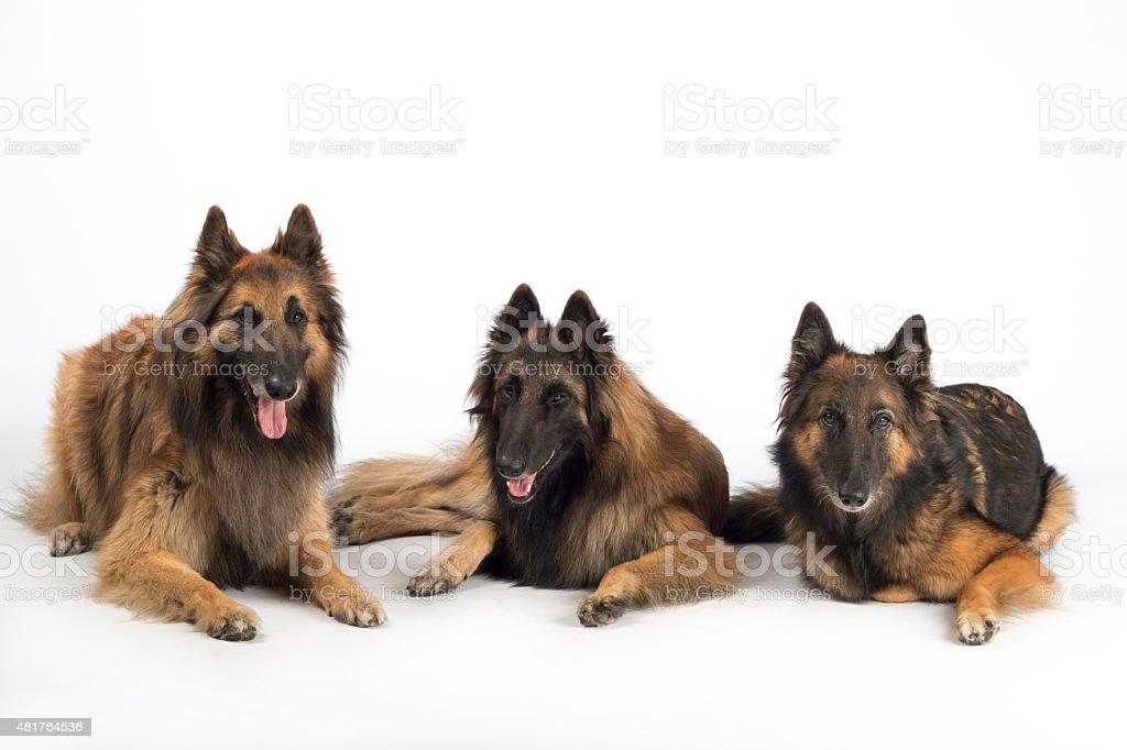 Three dogs, Belgian Shepherd Tervuren, lying isolated white studio background stock photo