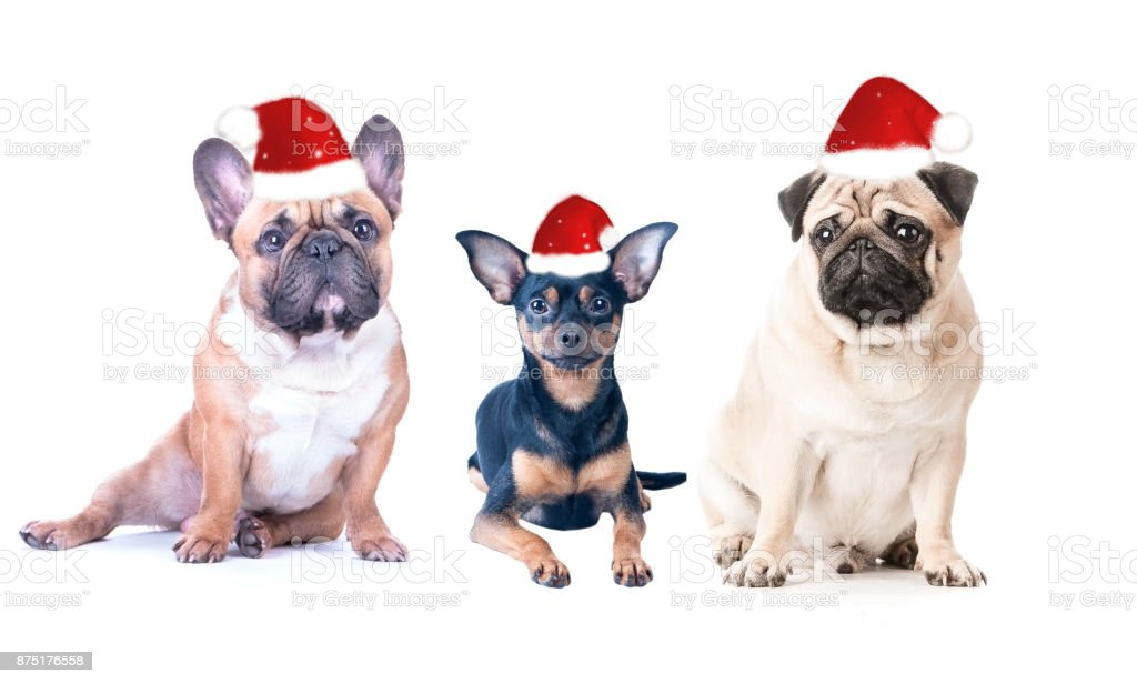 Three dogs  in New Year's caps  on a white background, isolated. stock photo