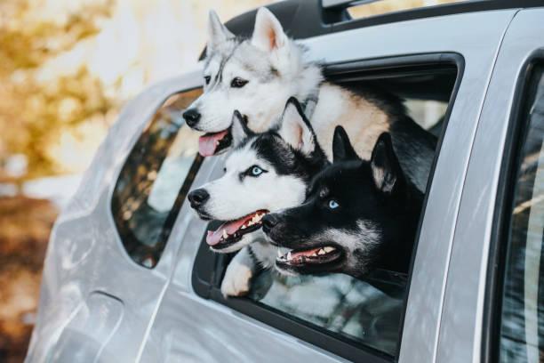 Drei Hunde im Auto – Foto