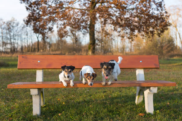 Three dogs jumping from a park bench a small pack of jack russell picture id1139995298?b=1&k=6&m=1139995298&s=612x612&w=0&h=7 wzi0bdgzj0tbyabjruepvi09junhoruo0wrirbnq8=