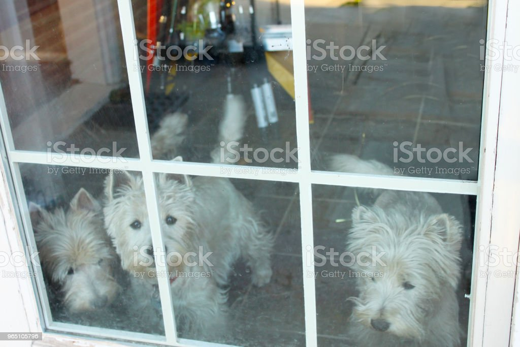 Three Dogs looking out Window with tile floor showing behind them zbiór zdjęć royalty-free