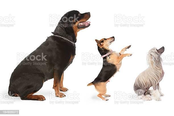 Three dogs looking to the same direction picture id154935072?b=1&k=6&m=154935072&s=612x612&h=5var0govpnd9ftj7ejb6lyygk wttggmkbafum0ivfk=