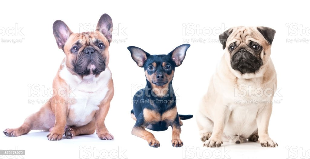 Three dogs on a white background, isolated. French Bulldog, Pug and Toy Terrier. stock photo
