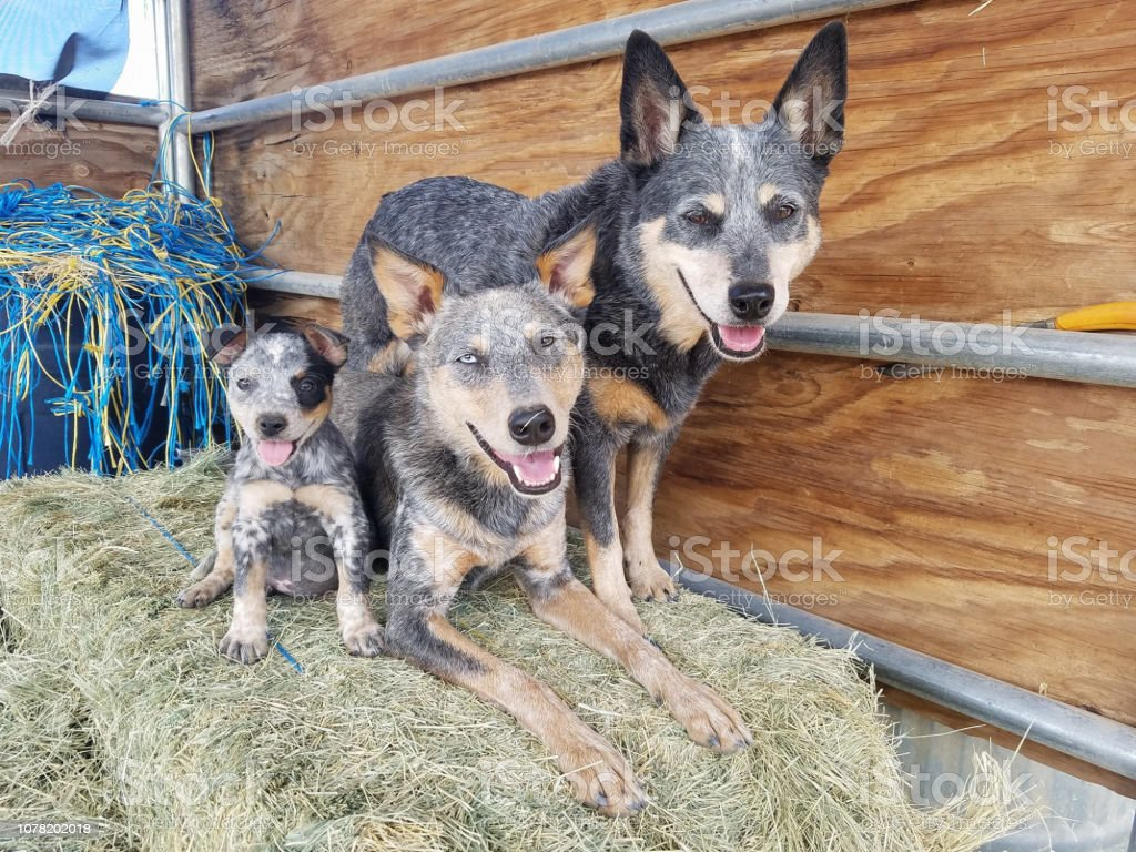 Three Dogs on Hay Bale stock photo