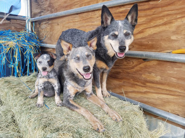 Three Dogs on Hay Bale stock photo